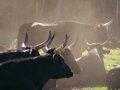 Découvrez la Camargue et ses taureaux pendant vos vacances en Provence